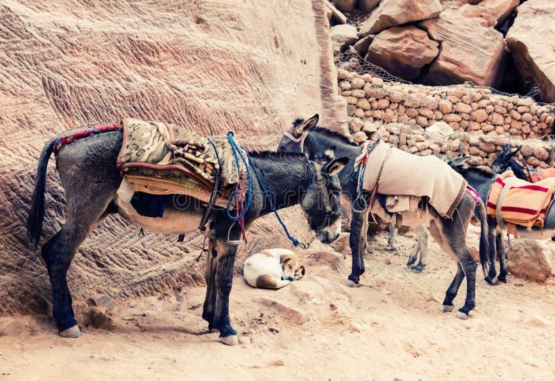 Γάιδαροι στη Petra στοκ εικόνες με δικαίωμα ελεύθερης χρήσης