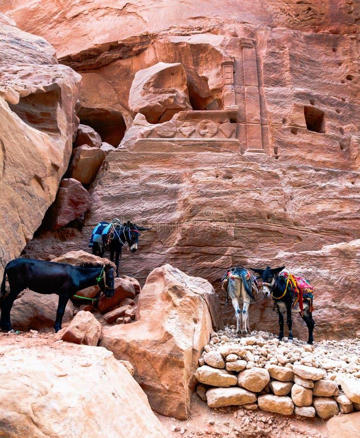 Γάιδαροι στη Petra στοκ εικόνες