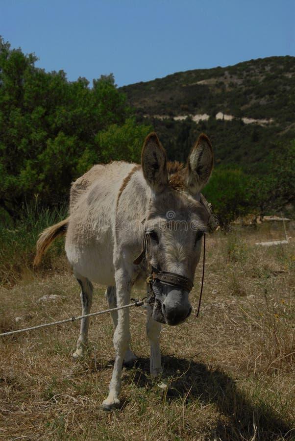 Γάιδαρος στα βουνά της Ελλάδας στοκ φωτογραφία με δικαίωμα ελεύθερης χρήσης