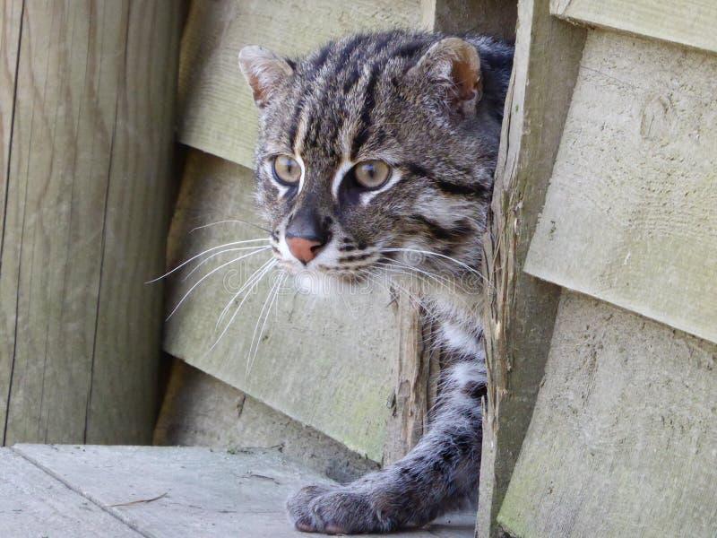 Γάτα αλιείας που εξετάζει έξω τον κόσμο στοκ εικόνες