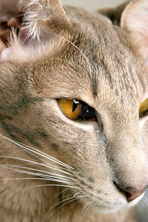 γάτα Ασιάτης στοκ φωτογραφία