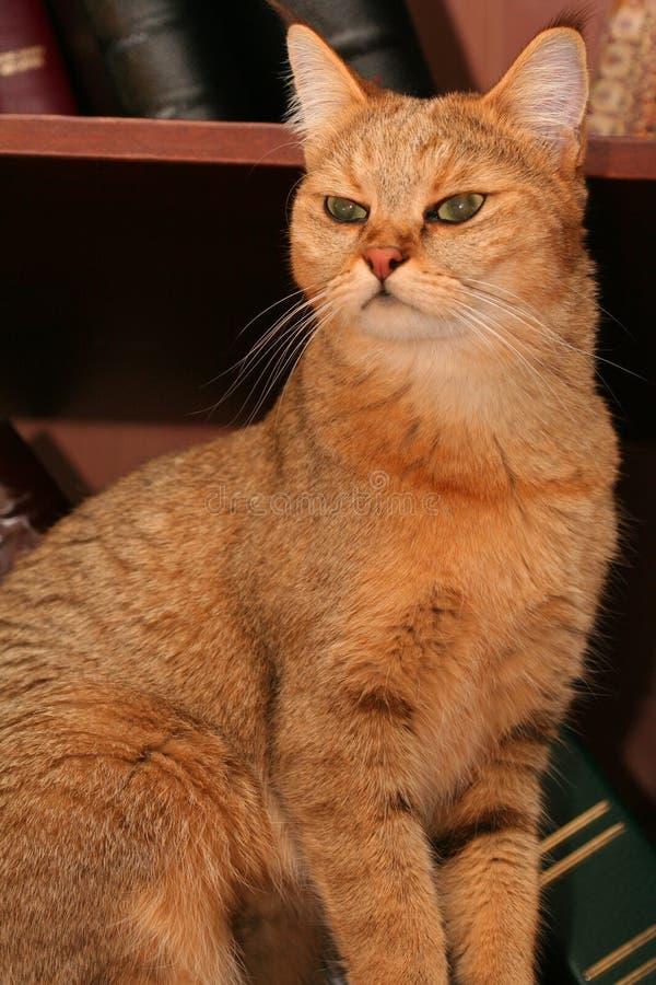 γάτα βιβλιοθηκών στοκ εικόνες