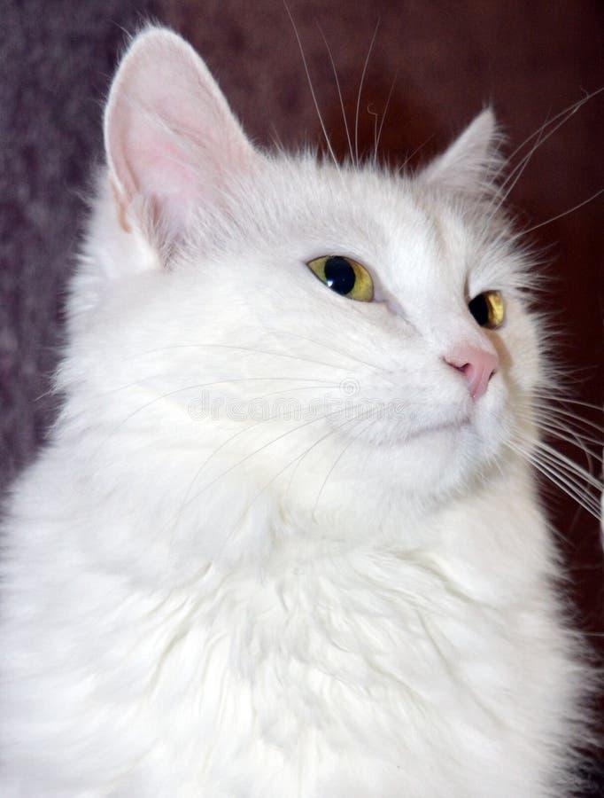 Γάτα, γατάκι, λευκό, κατοικίδιο ζώο, ζωικός, χαριτωμένος, αιλουροειδές, γατάκι, εσωτερικό, γούνα, νέος, λατρευτή, μπλε μάτια, σιβ στοκ εικόνες