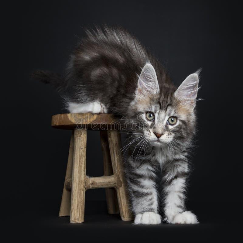 Γάτα/γατάκι του Μαίην Coon στοκ εικόνες