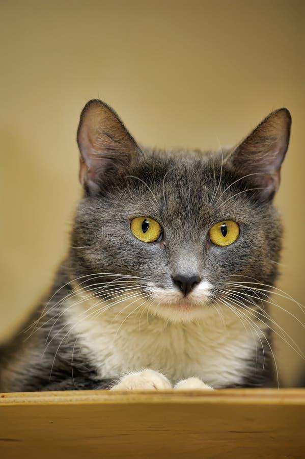 γάτα γκριζόλευκη στοκ εικόνες