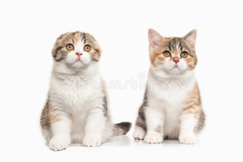 Γάτα Δύο σκωτσέζικα γατάκια ορεινών περιοχών με το λευκό στο άσπρο backgroun στοκ φωτογραφία με δικαίωμα ελεύθερης χρήσης