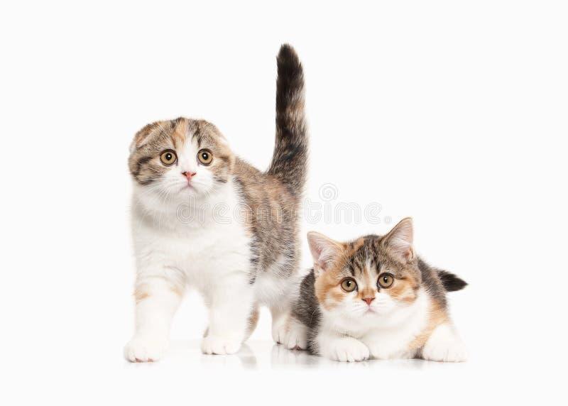 Γάτα Δύο σκωτσέζικα γατάκια ορεινών περιοχών με το λευκό στο άσπρο backgroun στοκ φωτογραφίες με δικαίωμα ελεύθερης χρήσης