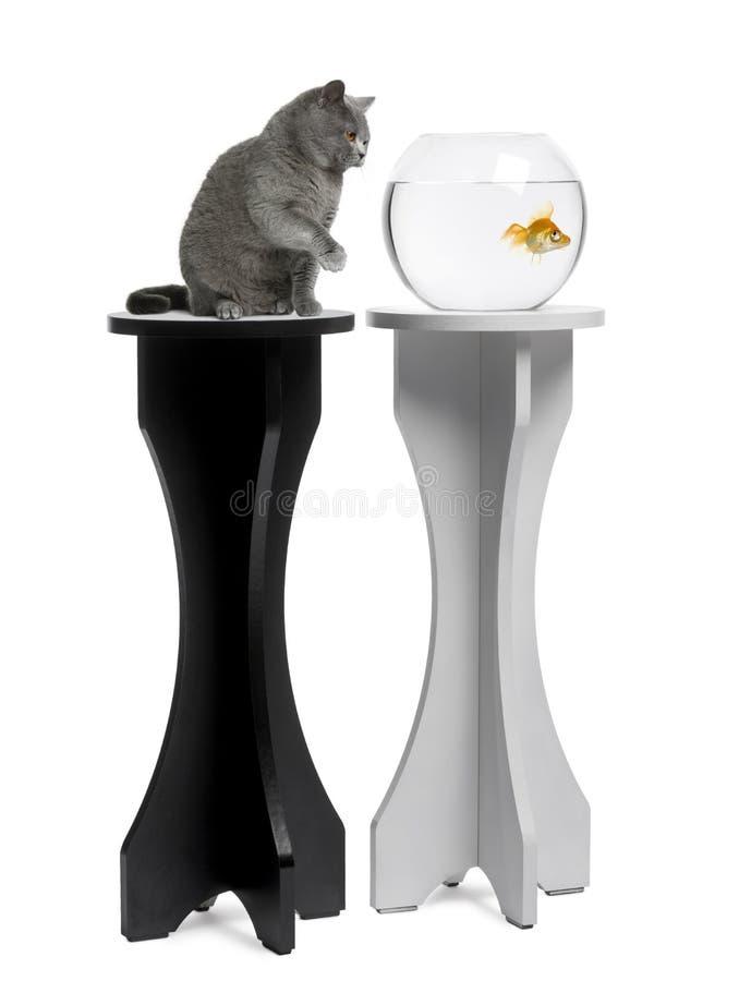 γάτα ενυδρείων goldfish που φαίν&eps στοκ φωτογραφία με δικαίωμα ελεύθερης χρήσης