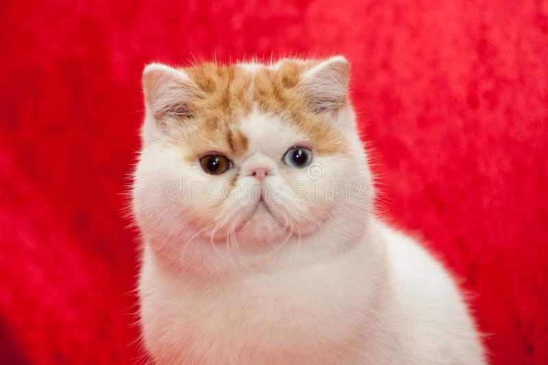 γάτα εξωτική στοκ εικόνα