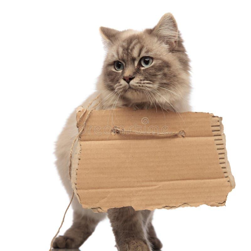 Γάτα επαιτών που περπατά και που κοιτάζει στην πλευρά με το κενό χαρτόνι στοκ φωτογραφίες με δικαίωμα ελεύθερης χρήσης