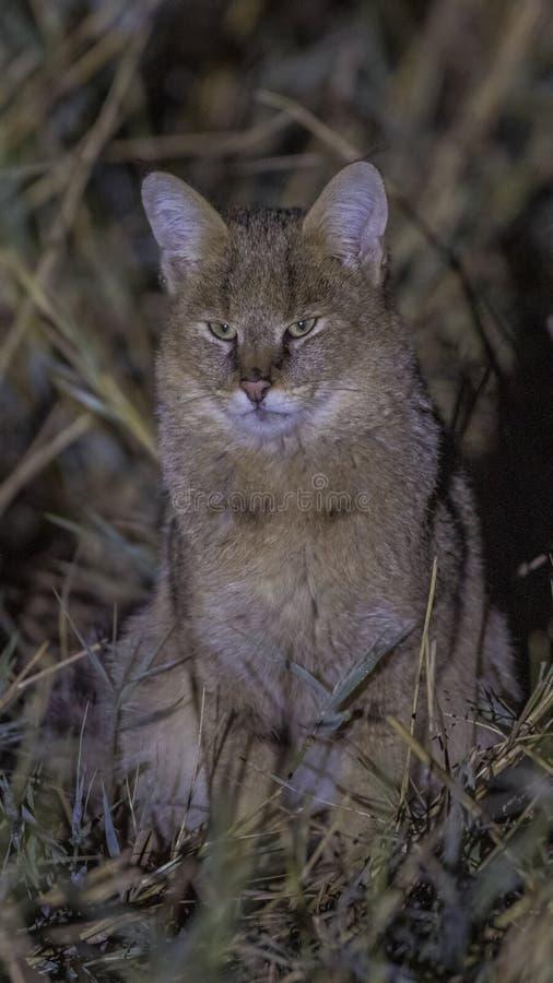 Γάτα ζουγκλών στο έλος στοκ φωτογραφίες