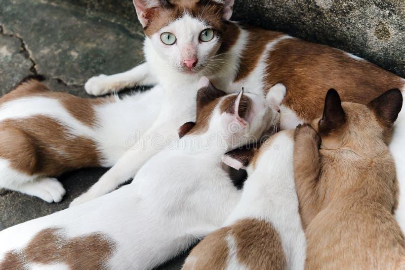 γάτα η περιποίηση γατακιών &t στοκ εικόνα