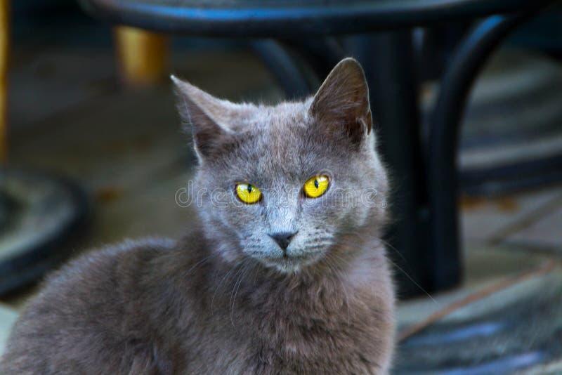 Γάτα και μάτια γατών στοκ εικόνα