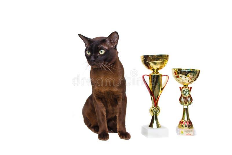 γάτα καφετιά, καφέ σοκολατί με τα μεγάλα πράσινα μάτια με τα κερδίζοντας φλυτζάνια, τρόπαια επάνω σε ένα απομονωμένο υπόβαθρο στοκ εικόνες