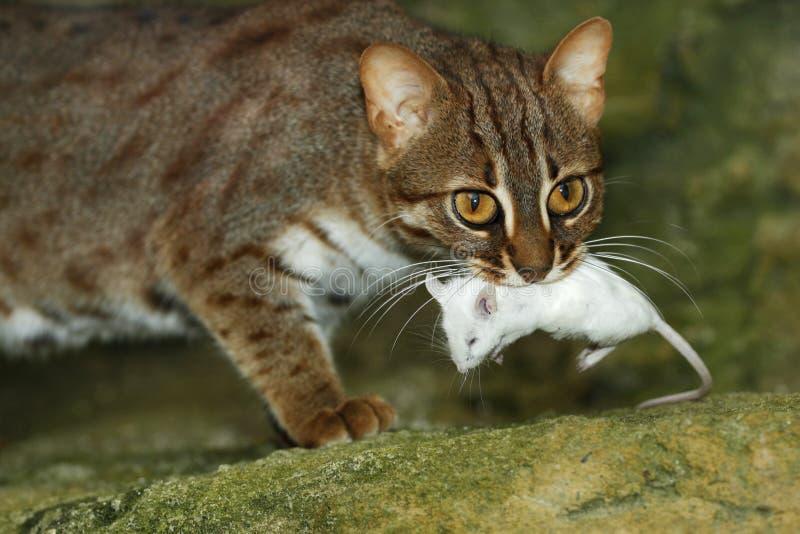 Γάτα Κεϋλάνη στοκ φωτογραφία