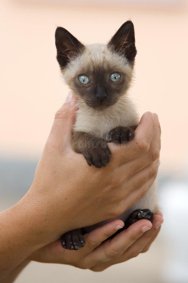 γάτα λίγος πολύτιμος σια στοκ εικόνα με δικαίωμα ελεύθερης χρήσης
