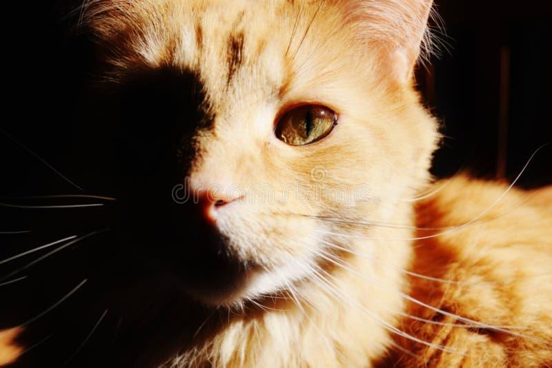 Γάτα λιονταριών στοκ εικόνα με δικαίωμα ελεύθερης χρήσης