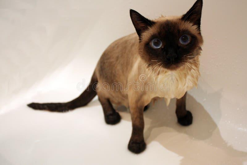 Γάτα Μασσαλία στοκ εικόνα