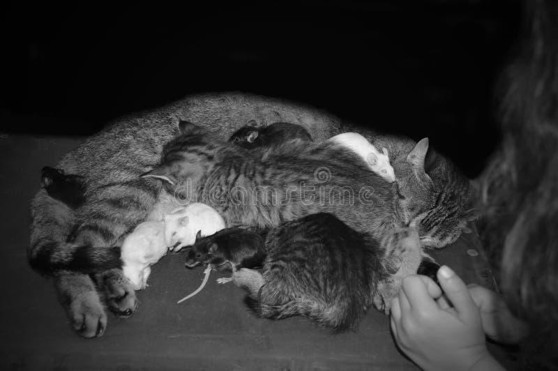 Γάτα με τα γατάκια και τα ποντίκια στοκ φωτογραφία με δικαίωμα ελεύθερης χρήσης