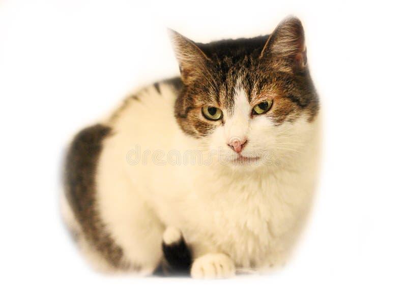 Γάτα με τα πράσινα μάτια στο λευκό στοκ εικόνες