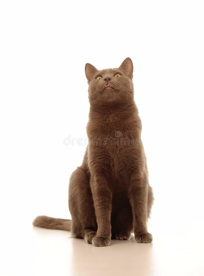 Γάτα με την καφετιά γούνα στοκ φωτογραφία με δικαίωμα ελεύθερης χρήσης