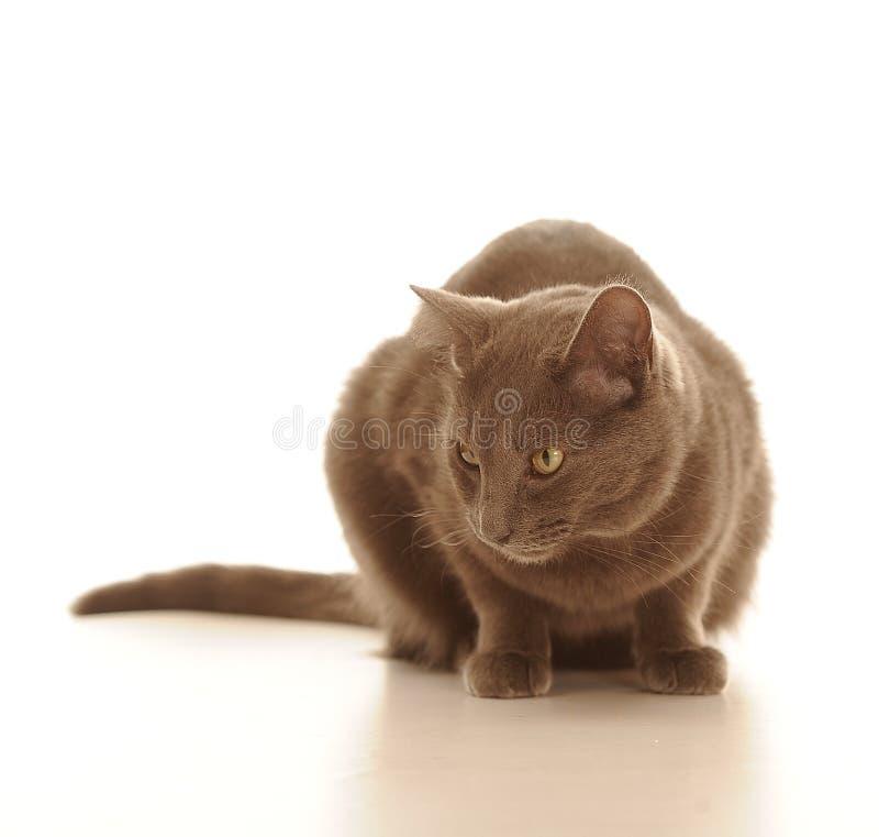 Γάτα με την καφετιά γούνα στοκ εικόνες με δικαίωμα ελεύθερης χρήσης