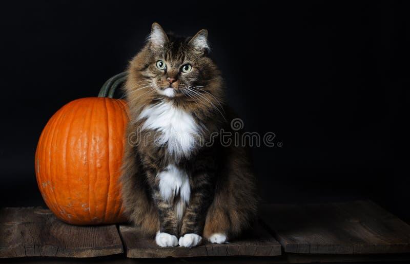 Γάτα με την κολοκύθα στοκ εικόνες με δικαίωμα ελεύθερης χρήσης