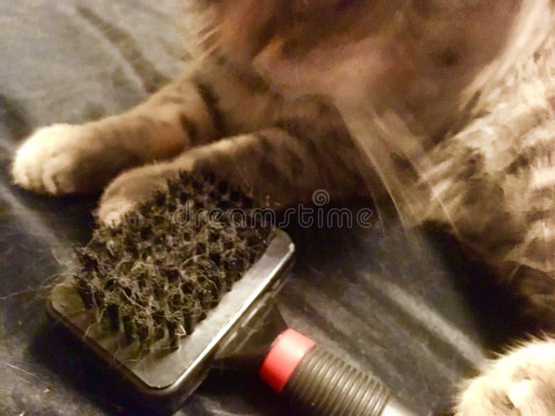 Γάτα με τη βούρτσα βουρτσισμένο στοκ εικόνες