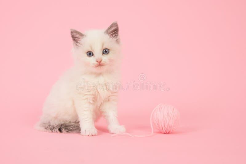 Γάτα μωρών Ragdoll στα ρόδινα περίχωρα στοκ φωτογραφία με δικαίωμα ελεύθερης χρήσης