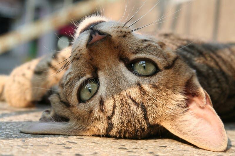 γάτα οκνηρή στοκ φωτογραφία με δικαίωμα ελεύθερης χρήσης
