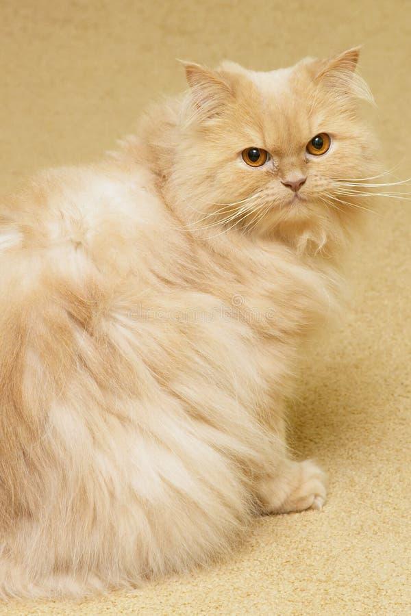 γάτα περσική στοκ φωτογραφία με δικαίωμα ελεύθερης χρήσης