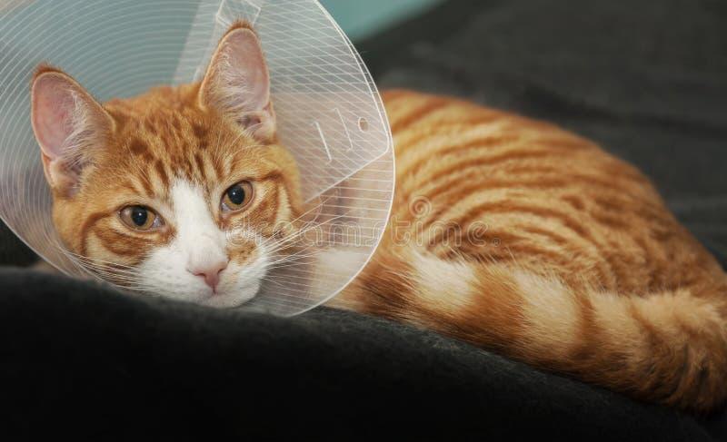 Γάτα πιπεροριζών μετά από την ιατρική περίθαλψη στοκ φωτογραφία