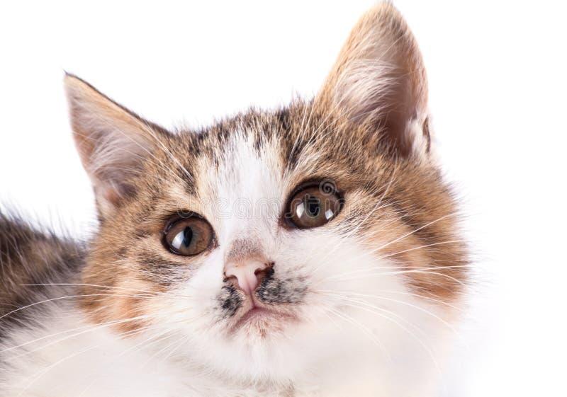 Γάτα πορτρέτου που απομονώνεται στοκ εικόνα