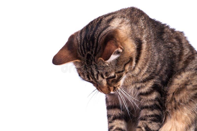Γάτα που απομονώνεται τιγρέ στοκ εικόνες με δικαίωμα ελεύθερης χρήσης