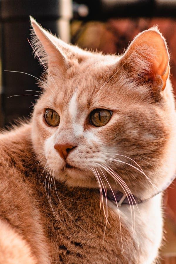 Γάτα που κοιτάζει έξω στο ηλιοβασίλεμα στοκ φωτογραφίες με δικαίωμα ελεύθερης χρήσης