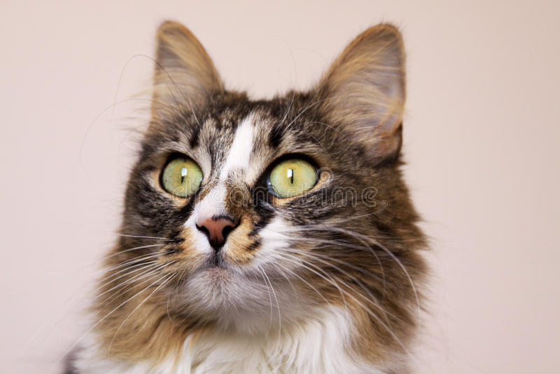 Γάτα που κοιτάζει επίμονα με τα ευρέα ανοιγμένα μάτια στοκ εικόνες