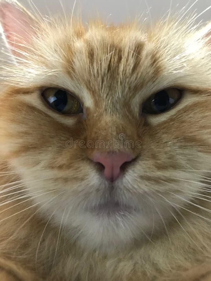 Γάτα που κοιτάζει επίμονα μπροστά από τη κάμερα στοκ εικόνες