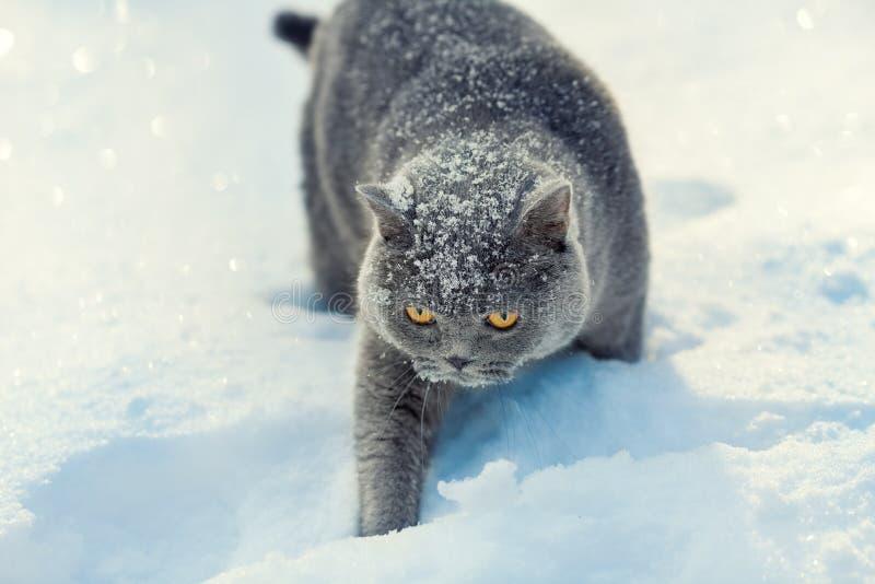 Γάτα που περπατάει στο χιόνι στοκ εικόνες με δικαίωμα ελεύθερης χρήσης