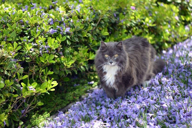 Γάτα που περπατά σε έναν πορφυρό τάπητα των λουλουδιών δέντρων Jacaranda στοκ φωτογραφίες