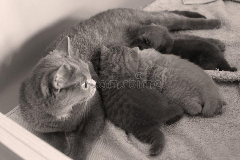 Γάτα που ταΐζει νέο της - γεννημένα γατάκια σε μερικές πετσέτες στοκ εικόνες