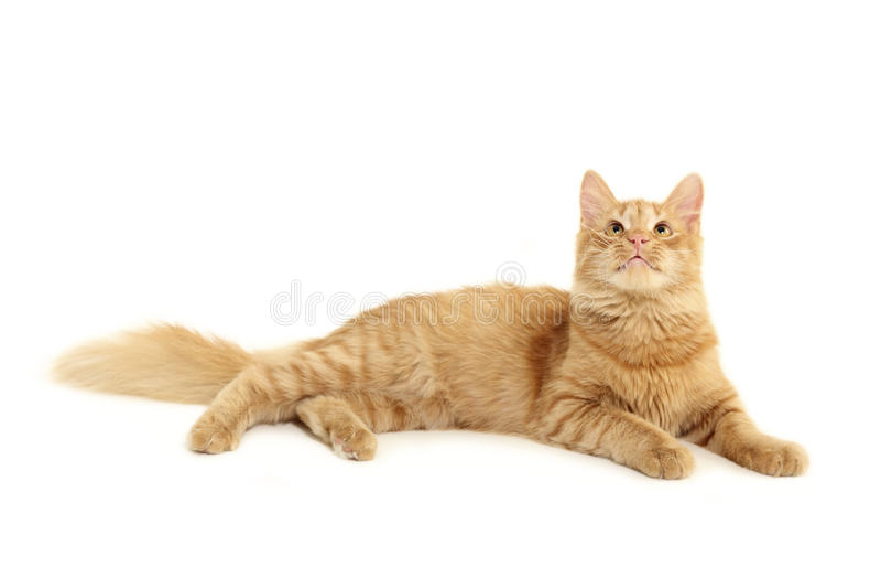 γάτα προσοχής στοκ φωτογραφία με δικαίωμα ελεύθερης χρήσης