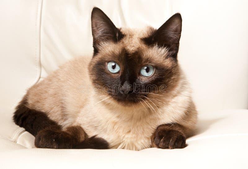 γάτα σιαμέζα στοκ εικόνα