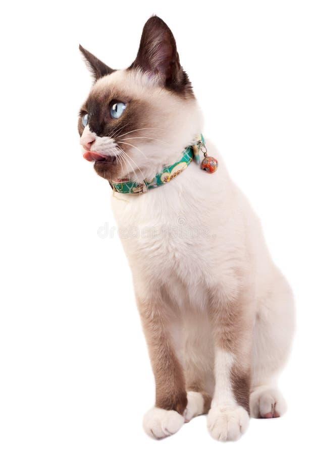 γάτα σιαμέζα