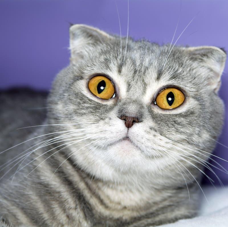 γάτα σκωτσέζικα στοκ εικόνα