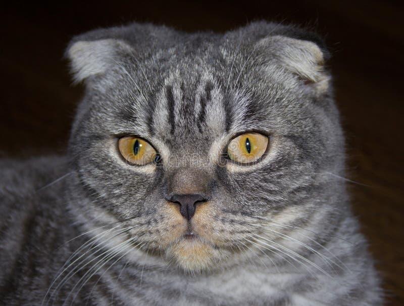γάτα σκωτσέζικα στοκ εικόνες