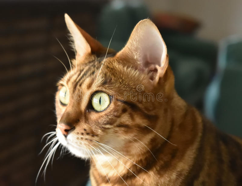 Γάτα σπιτιών της Βεγγάλης στο σχεδιάγραμμα με το πρόσωπο που φωτίζεται στοκ εικόνα