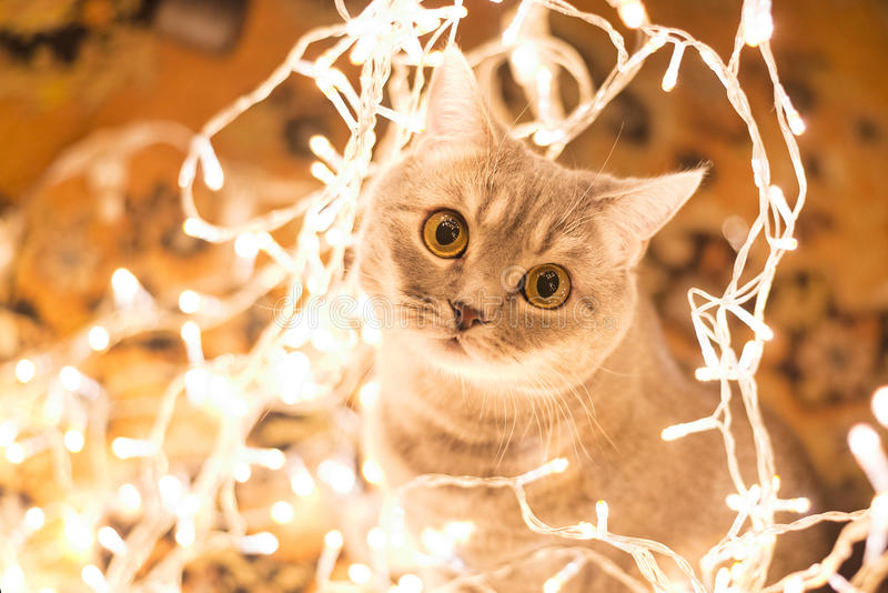 Γάτα στη γιρλάντα Χριστουγέννων στοκ φωτογραφίες με δικαίωμα ελεύθερης χρήσης