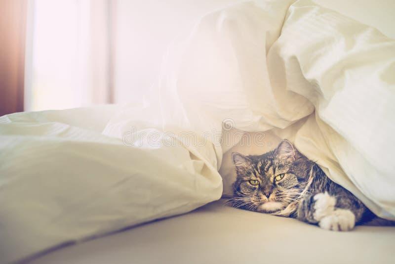 Γάτα στο κρεβάτι κάτω από τις καλύψεις στοκ εικόνα