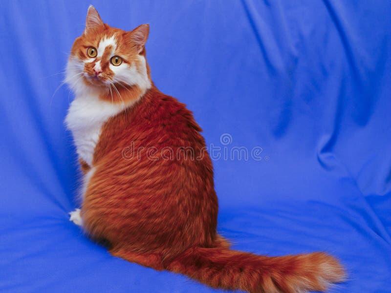 γάτα στο μπλε υπόβαθρο υφασμάτων στοκ εικόνα