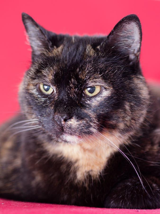 Γάτα ταρταρουγών στοκ εικόνες